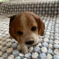 Beagle Front