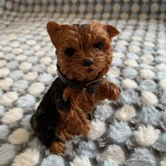 Yorkie Front